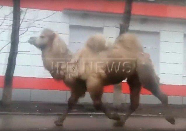 Camello paseando por las avenidas de la ciudad rusa de Ufá