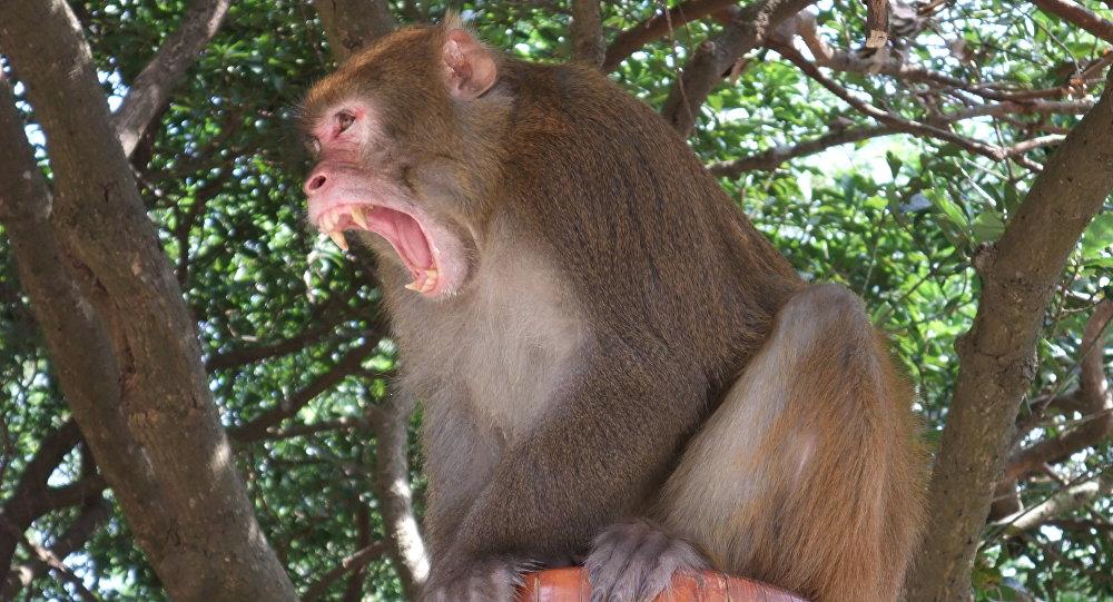 Un macaco Rhesus (archivo)