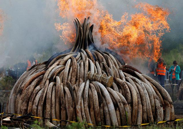 105 toneladas de marfil y una tonelada de cuernos de rinoceronte son quemadas en el Parque Nacional de Nairobi en Kenia