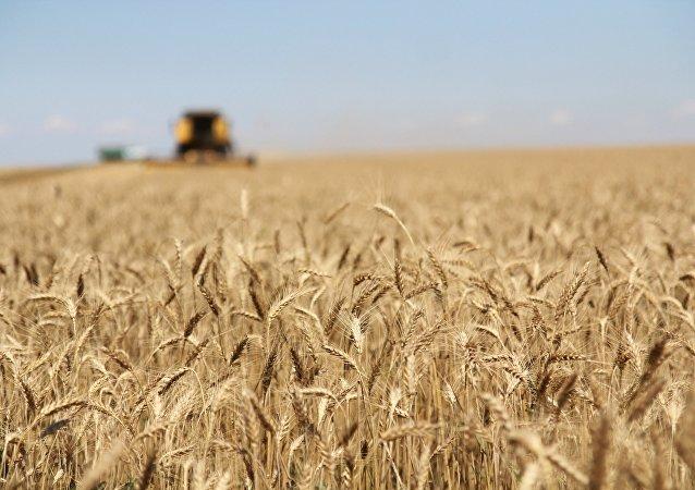 Cosecha de trigo en Rusia (archivo)