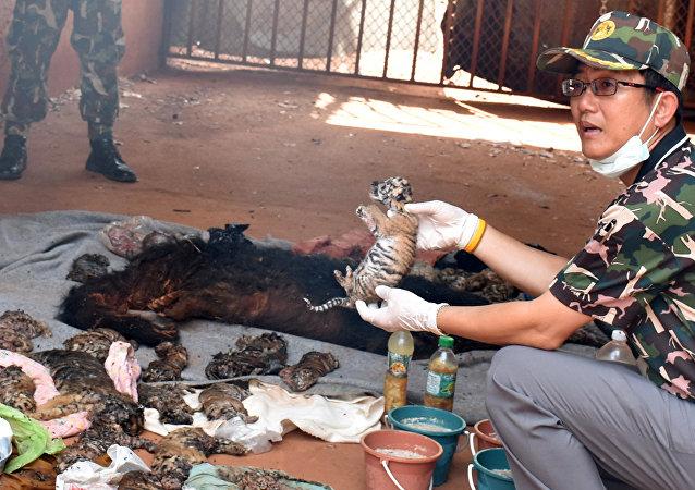 Tigres muertos hallados en un templo de Tailandia