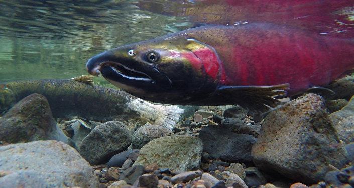 Un salmón