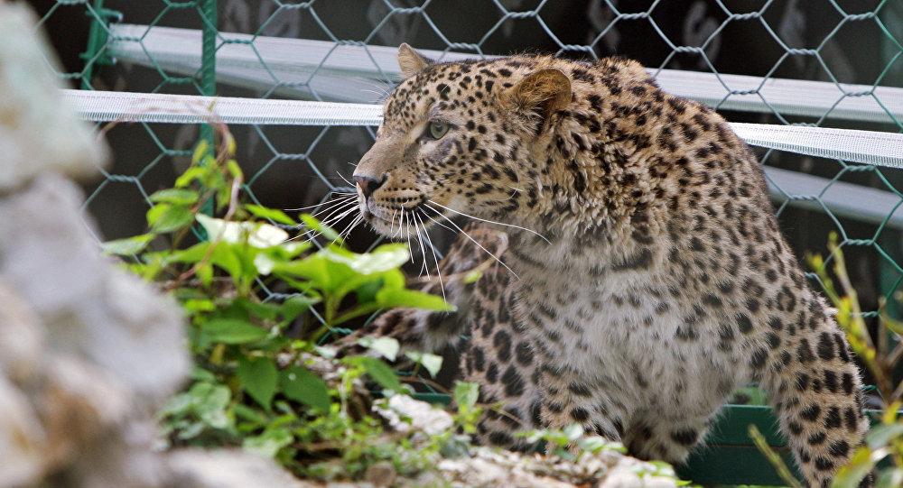 Hembra de leopardo de Persia en el parque zoológico de Sochi