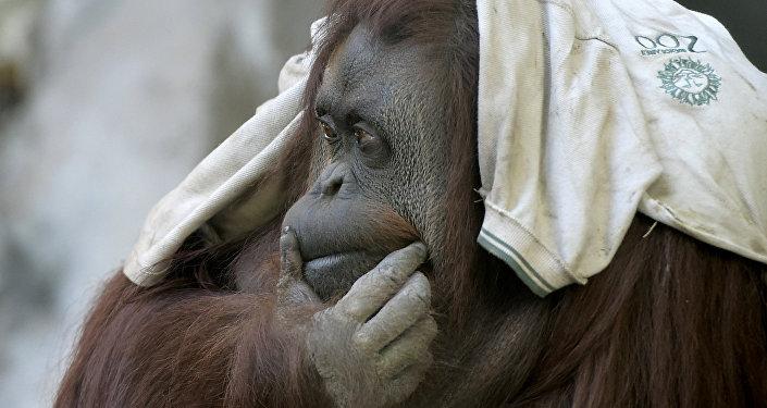 Orangután en el zoológico de Buenos Aires