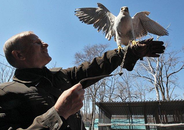 Un halcón adiestrado (archivo)