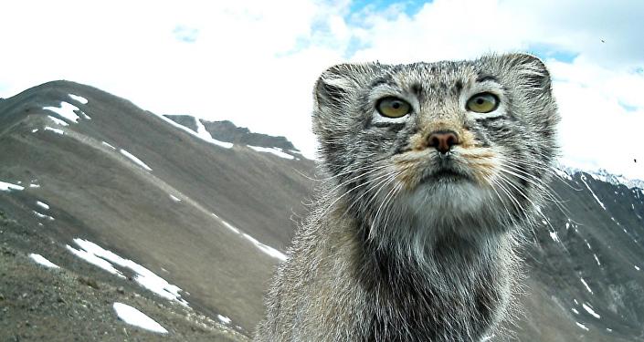 El gato de Pallas fotografiado en Siberia