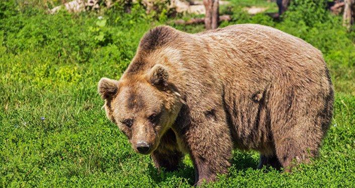 Un oso pardo (Archivo)