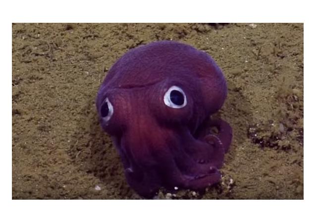 un molusco Rossia de la familia Sepiolidae