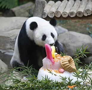 Panda celebra su décimo cumpleaños con un delicioso pastel en un zoo de Malasia