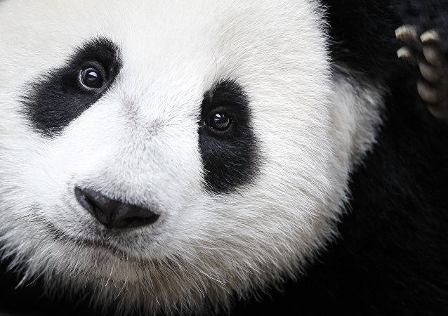 Los pandas son una de las principales atracciones del zoológico de Toronto