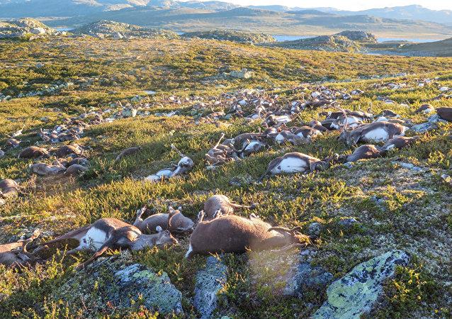 Renos muertos por un relámpago en la región noruega de Hardangervidda