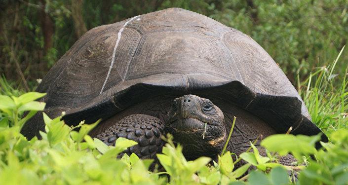 Una tortuga gigante en el Parque Nacional Galápagos