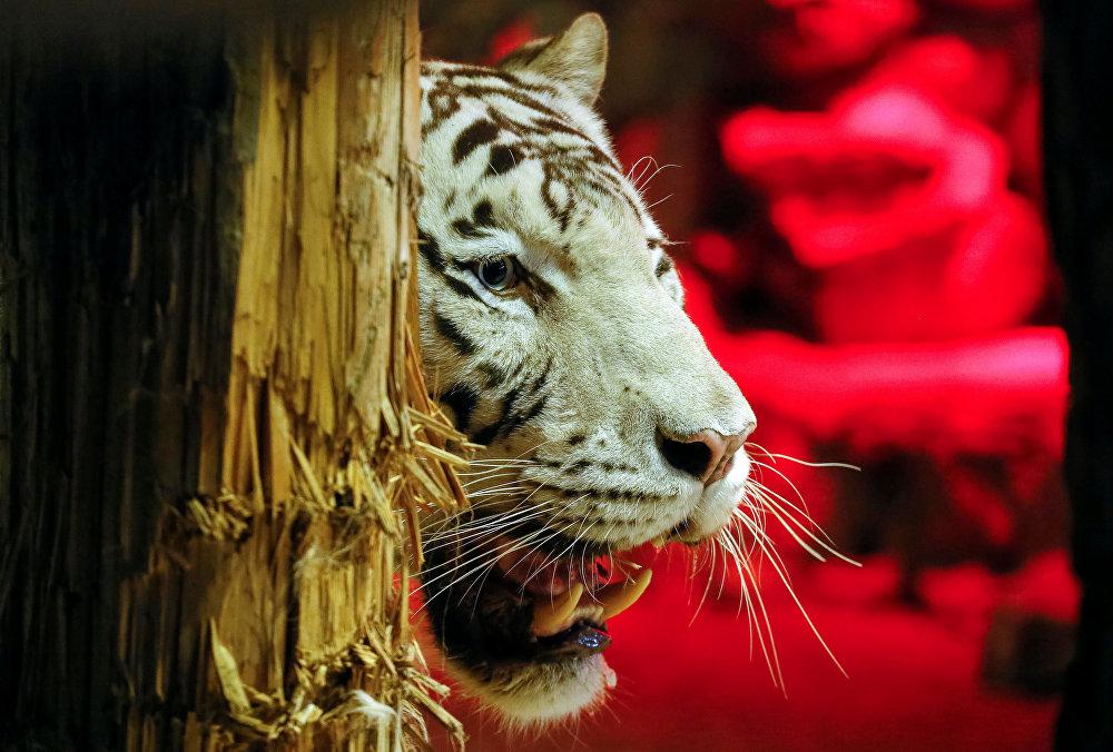 Jan, el tigre de Bengala blanco del zoológico de Krasnoyarsk, es un felino muy preocupado por su apariencia. El animal siempre limpia sus colmillos con la ayuda de un pedazo de árbol.
