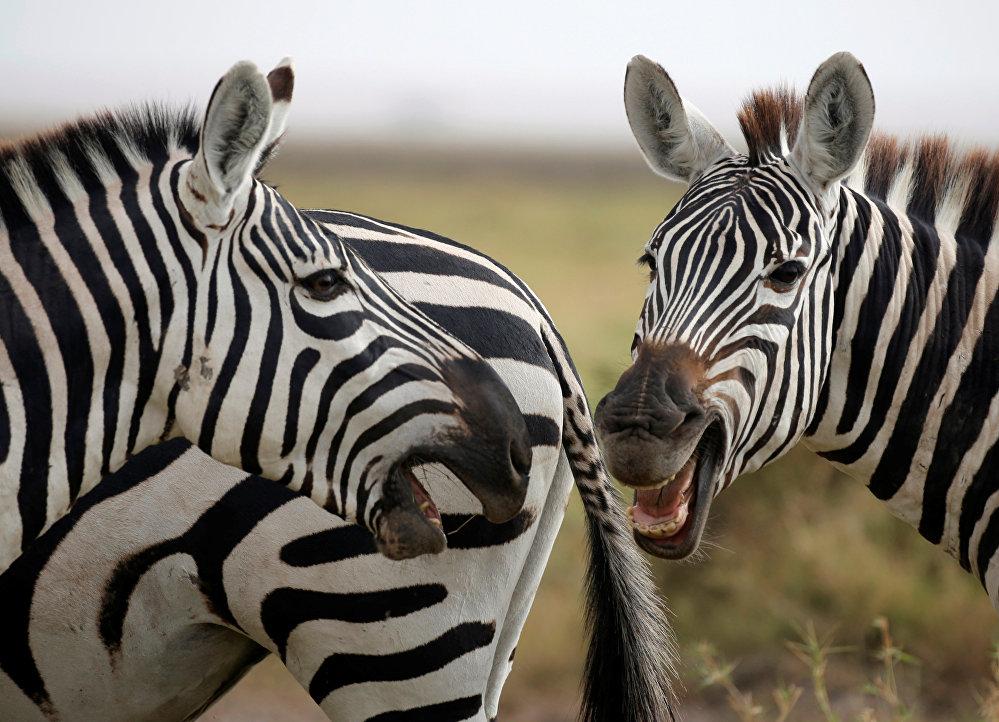 Zebras en el Parque Nacional de Amboseli, Kenia.