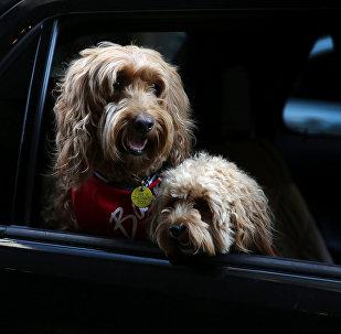 Dos perros pasean en coche.