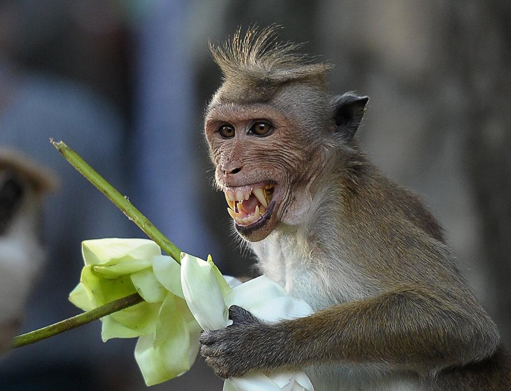 Los monos son parte inseparable de muchos templos budistas en Sri Lanka, como este animalito de la foto, que regala flores cerca del Templo del Oro de Dambulla.