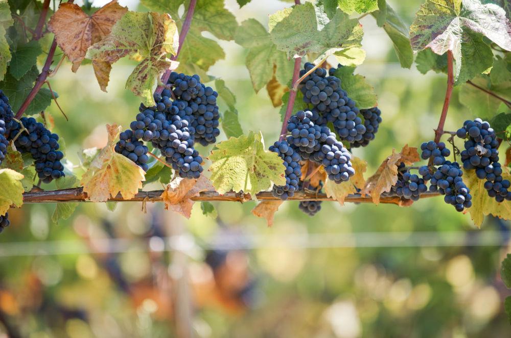 Los viñedos de la península de Crimea ocupan un área de cerca de 30.000 hectáreas. La vendimia —cosecha de la uva— llega a 100 mil toneladas anuales, lo suficiente para producir  unos 8 millones de decalitros de vino cada año. Foto: viñedos de la compañía 'UPPA Winery' en Sebastopol.