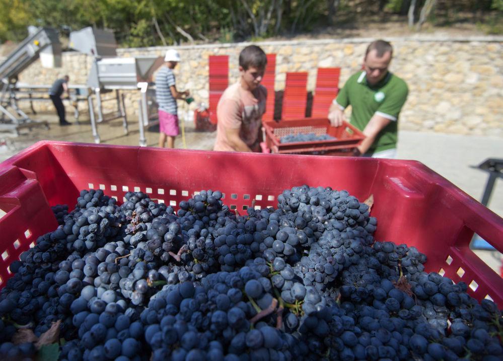 La producción de vino en Crimea es llevada a cabo por empresas  de diferentes tipos: estatales, colectivas, privadas. Foto: el procesamiento de la uvas de la bodega 'UPPA Winery'.