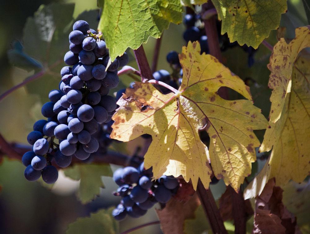 Uvas de los viñedos de 'UPPA Winery'.