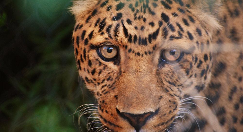 El leopardo del Amur, el principal habitante del parque nacional ruso Tierra del Leopardo