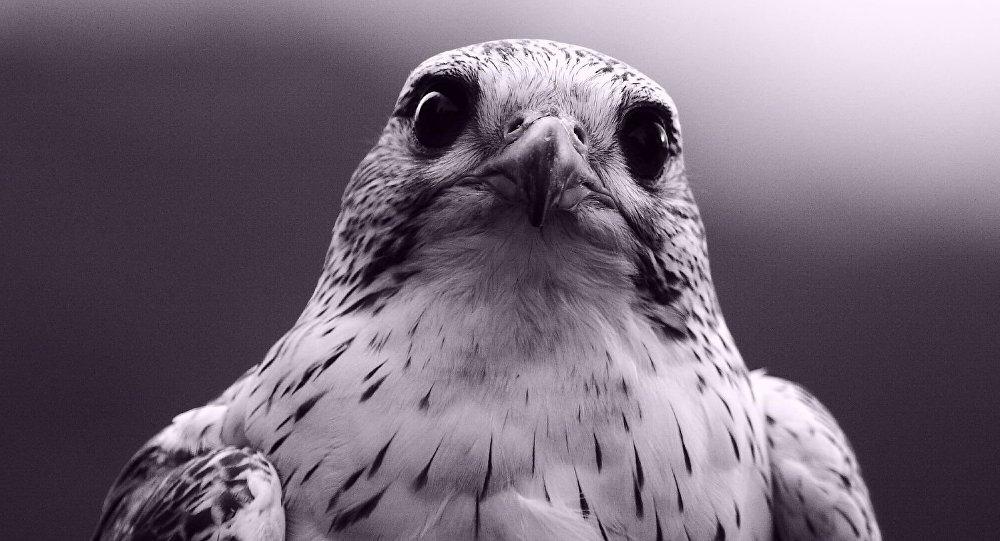 Un halcón