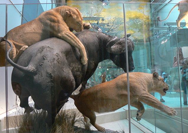 Los animales disecados en un museo