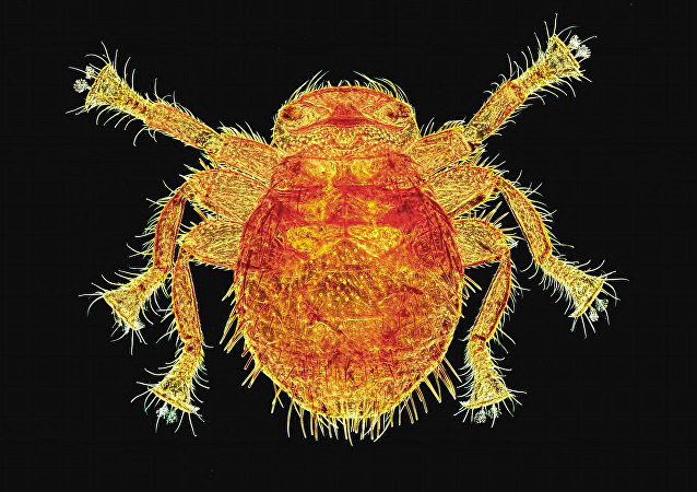 Bee Louse (Braula caeca)