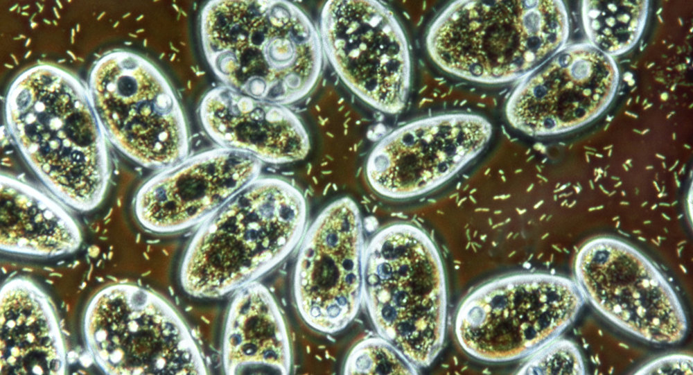 Bacteria and ciliate protozoa in flower vase water