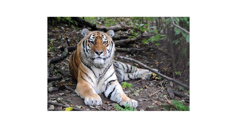 Амурский тигр Лютый