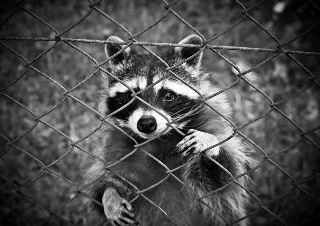 Un mapache en un zoo