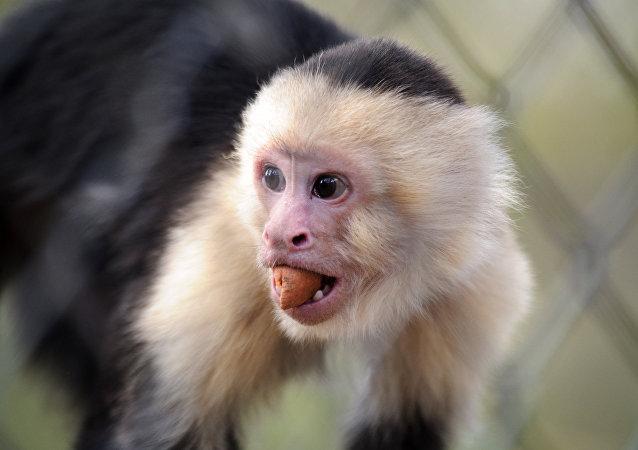 Un mono capuchino