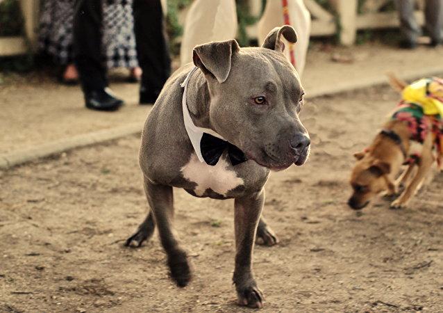 Un pitbull terrier (archivo)