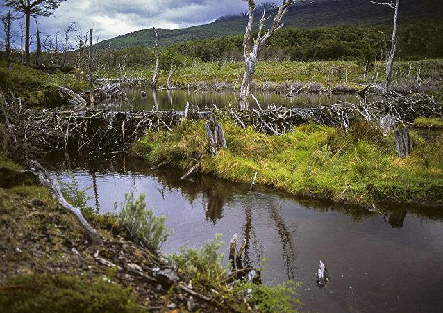 Un dique de castores en Tierra del Fuego