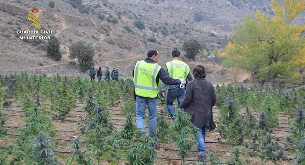 Agentes de la Guardia Civil inspeccionan la plantación de marihuana descubierta en Aragón