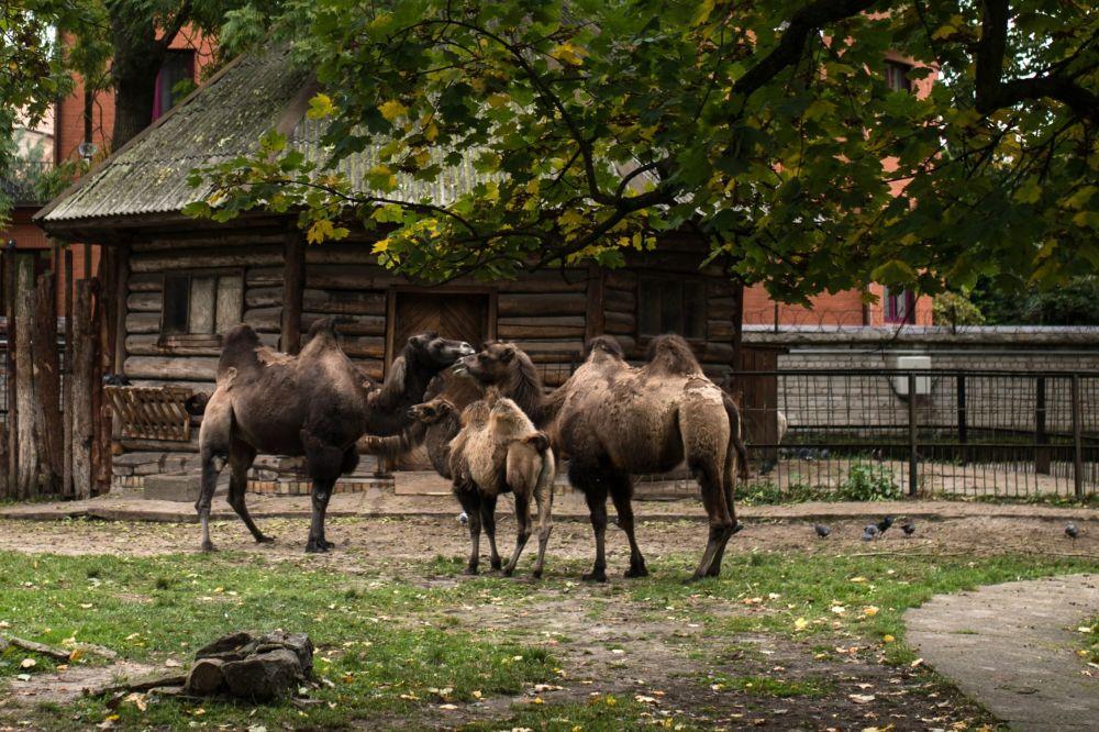 Camellos asiáticos