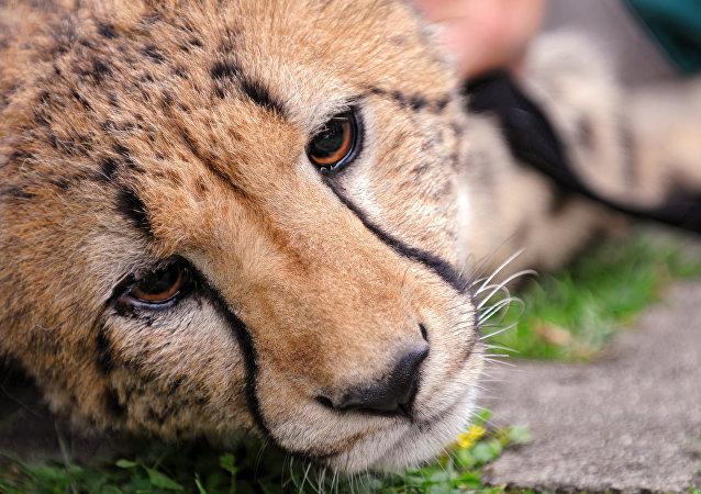 Un jaguar triste