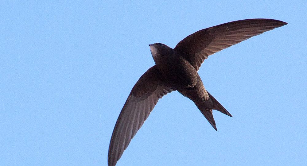Un vencejo común en vuelo