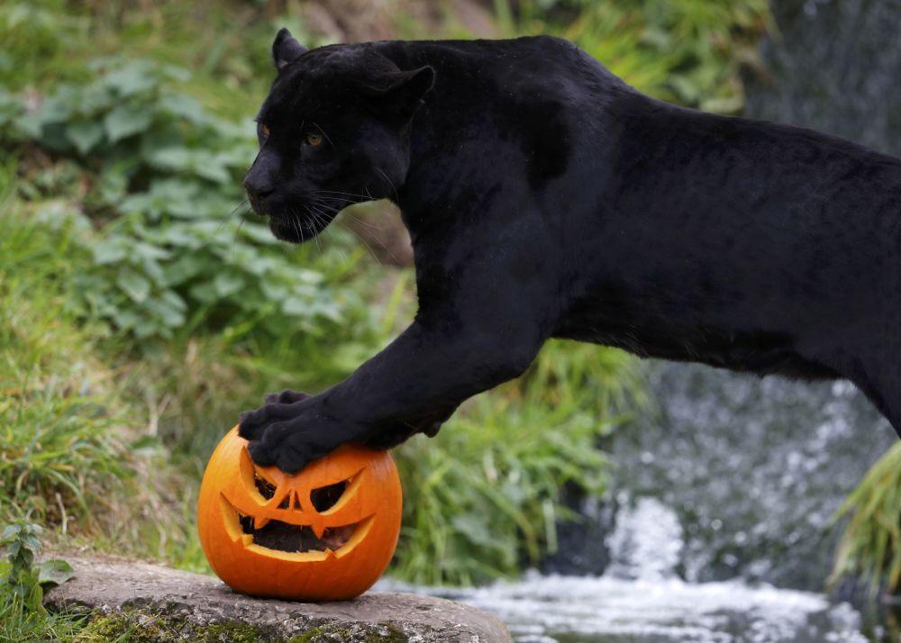 El jaguar negro Goshi del zoo de Chester con motivo del Halloween recibió su almuerzo en una calabaza