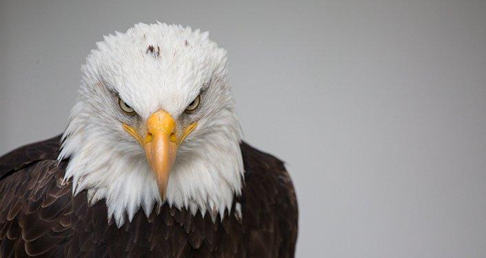 Águila de cabeza blanca, símbolo nacional de EEUU