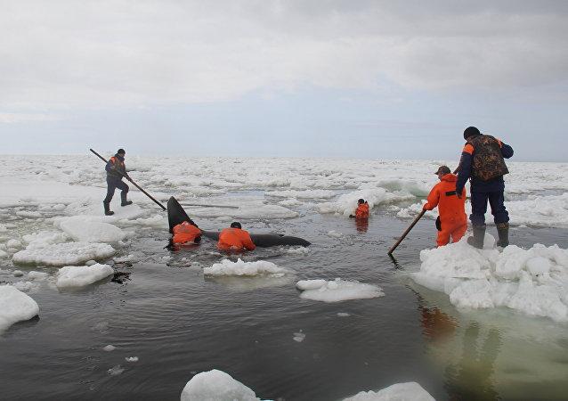 Una ballena en el mar de Ojotsk al este de la isla de Sajalín