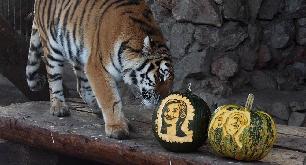 Yunona, una tigresa, opta por calabaza con cara de Hillary Clinton