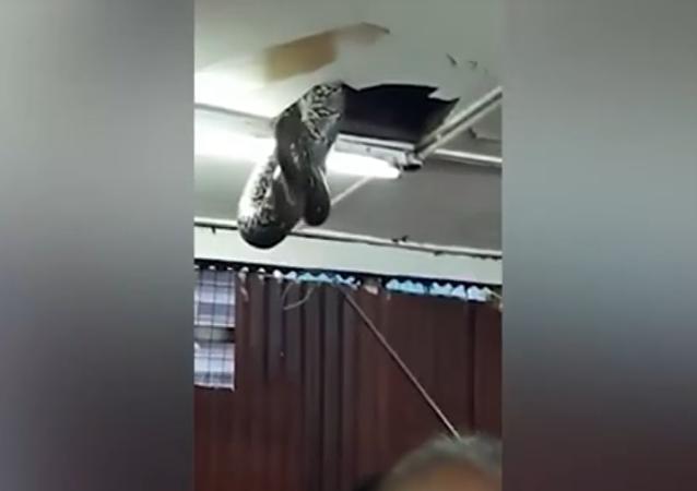 ¿Serpiente para el almuerzo? Un reptil gigante cae del techo en un restaurante