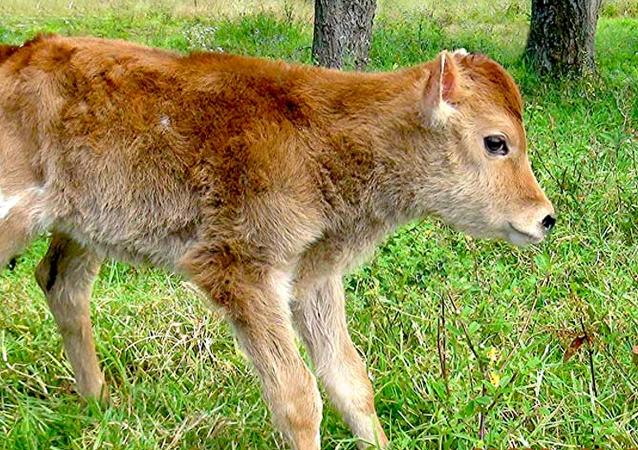 Vaca Alma C1, clonada en Perú
