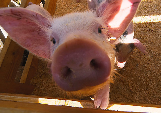 Cerdo (Archivo)