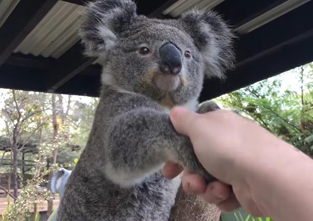 Un koala saluda a una persona