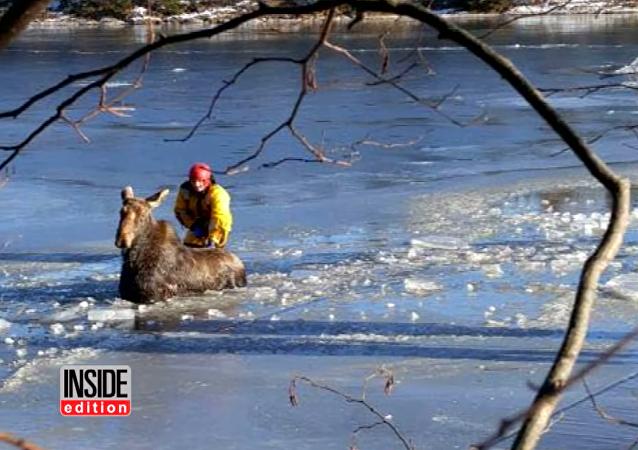 Bomberos canadienses salvan a un alce que cayó en un lago congelado