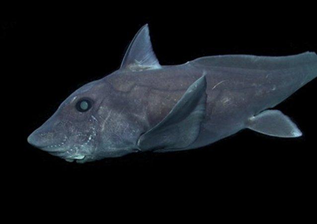 Un tiburón fantasma, capturado por primera vez