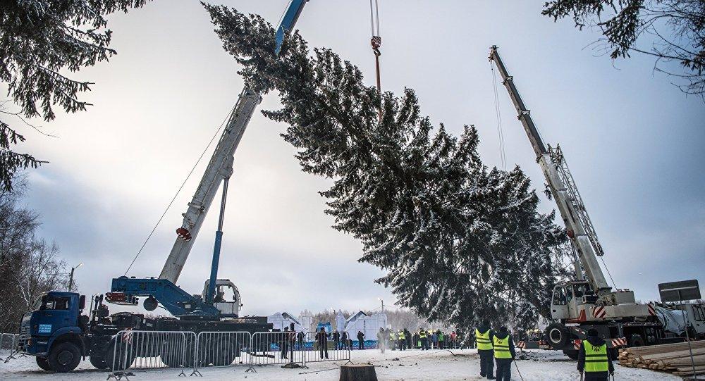 La tala del árbol de Navidad más importante de Rusia