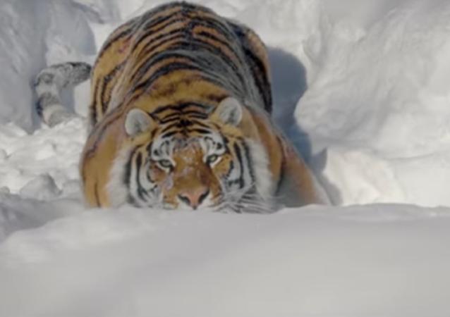 Los tigres salvajes, más cerca que nunca