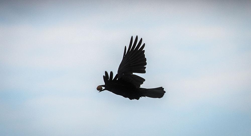 A crow flies with a walnut in its beak in Frankfurt am Main, western Germany, on October 9, 2016.